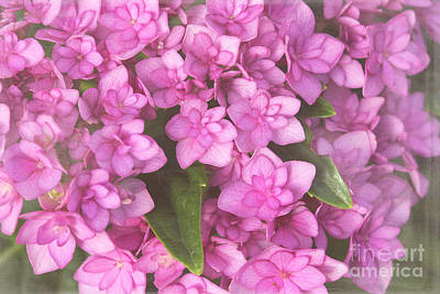 Photograph - Pink Hydrangea by Cindi Ressler