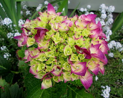 Photograph - Pink Hydrangea by Dreamweaver Gallery