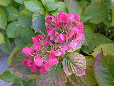 Photograph - Pink Hydrangea by Erika H