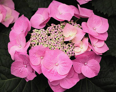 Photograph - Pink Hydrangea / Hortensia by Cristina Stefan