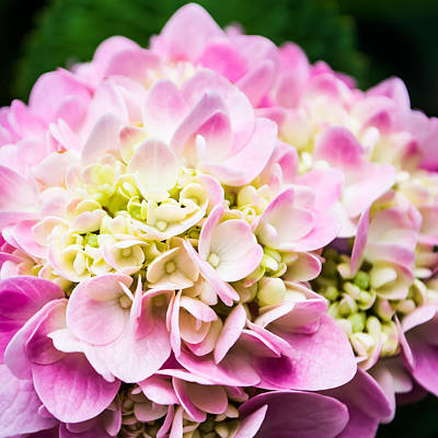Pink Hydrangea In Square Art Print by Shelby  Young