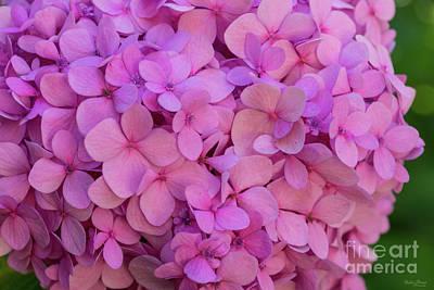 Photograph - Pink Hydrangea by Jennifer White