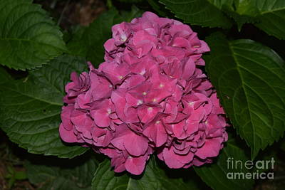 Photograph - Pink Hydrangea by Mark McReynolds