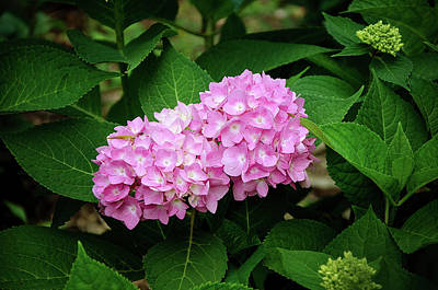 Photograph - Pink Hydrangea by Susan McMenamin