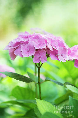 Photograph - Pink Hydrangea by Tim Gainey