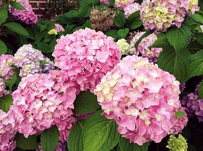 Photograph - Pink Hydrangeas by Anne Sands