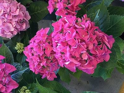 Photograph - Pink Hydrangeas by Kay Gilley