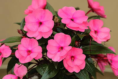 Photograph - Pink Impatiens by Sheila Brown