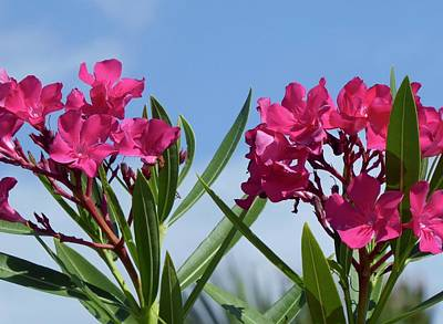 Photograph - Pink In Pairs by Margaret Brooks
