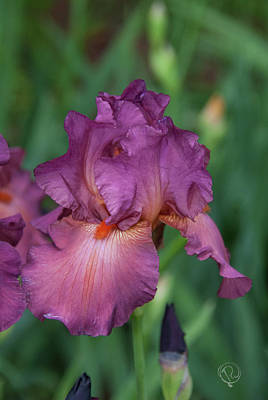 Photograph - Pink Iris by Pamela Williams