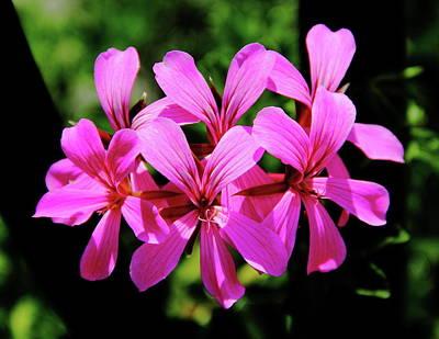 Pop Art - Pink Ivy Geranium by Allen Nice-Webb