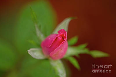 Photograph - Pink Knockout Rose by Deborah Benoit