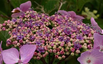 Photograph - Pink Lacecap Hydrangea by Richard Brookes