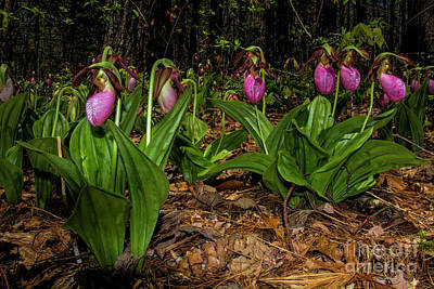 Photograph - Pink Ladies Slipper Patch by Barbara Bowen