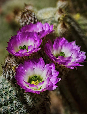 Photograph - Pink Lady Finger Cactus Flowers  by Saija Lehtonen