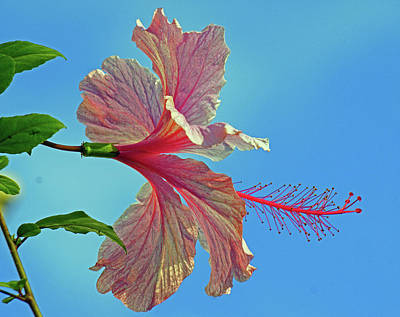 Photograph - Pink Lady Hibiscus by Larry Nieland