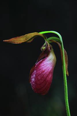 Photograph - Pink Lady Slipper by John Burk