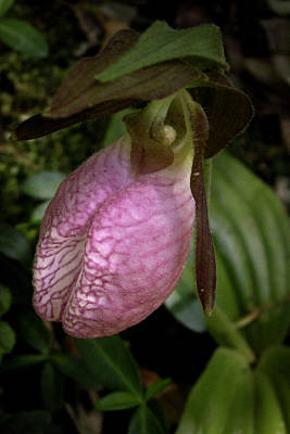 Photograph - Pink Lady Slipper by Nancy Griswold