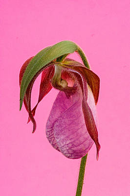 Ladys Slipper Photograph - Pink Lady's Slipper On Pink by Douglas Barnett