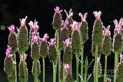 Photograph - Pink Lavender by Julia Gavin
