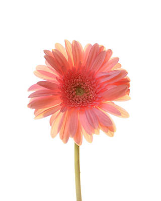 Gerber Daisy Photograph - Pink Lemonade by Amy Tyler