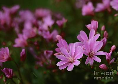 Photograph - Pink Lewisia by Kenny Glotfelty