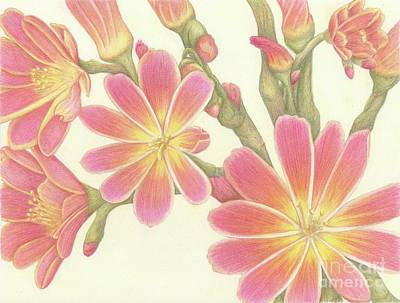 Drawing - Pink Lewisia by Tammie Painter