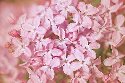 Photograph - Pink Lilac by Cindy Grundsten