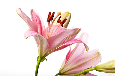 Floral Wall Art - Photograph - Pink Lilies 03 by Nailia Schwarz