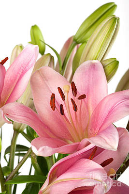 Water Drops Photograph - Pink Lilies 07 by Nailia Schwarz