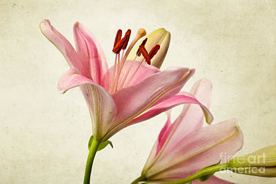 Colorful Photograph - Pink Lilies by Nailia Schwarz