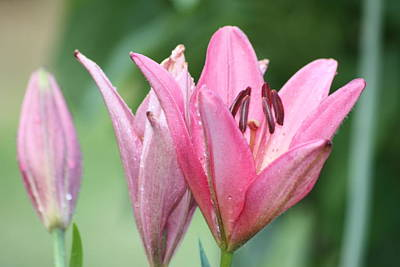 Pink Lillies Art Print by Angie  Wise