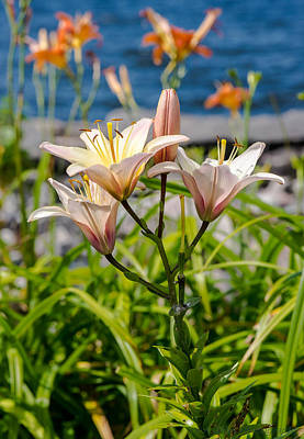 Photograph - Pink Lily By The Lake by Andrew Miles