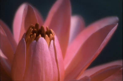 Pink Lily Close-up Art Print by Karen Garvin