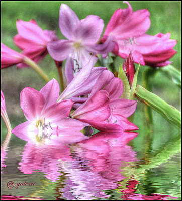 Photograph - Pink Lily Flood by Geraldine Alexander