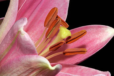 Photograph - Pink Lily Macro by Phyllis Denton