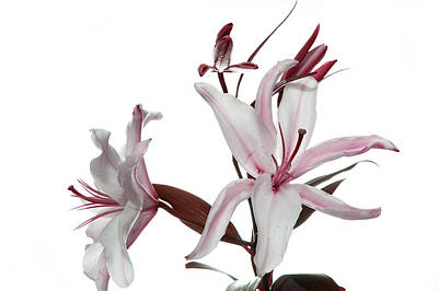 Pink Lily Art Print by Peter Dorrell
