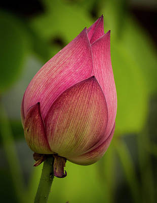 Photograph - Pink Lotus Bud by Jean Noren