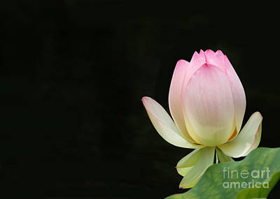 Photograph - Pink Lotus Bud by Sabrina L Ryan