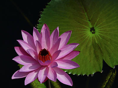 Photograph - Pink Lotus by Evelyn Tambour