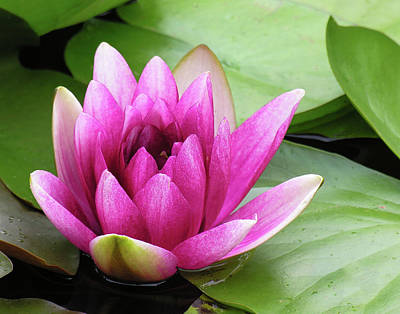 Art Print featuring the photograph Pink Lotus Flower by Betty Denise