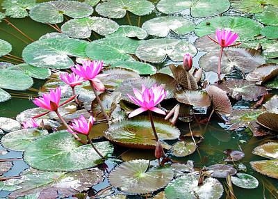 Photograph - Pink Lotus Of Vietnam by Kurt Van Wagner