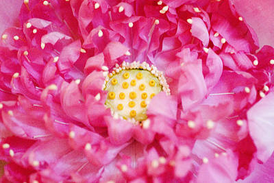 Photograph - Pink Lotus by Ray Laskowitz - Printscapes
