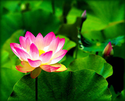 Photograph - Pink Lotus by Susie Weaver