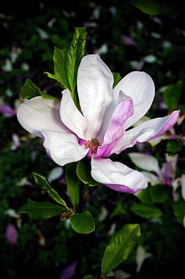 Photograph - Pink Magnolia Blossom by Greg Reed