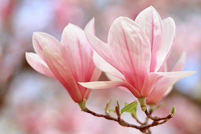 Wall Art - Photograph - Pink Magnolia Blossoms by Geraldine Scull
