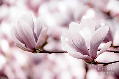 Pink Flower Photograph - Pink Magnolia by Elena Elisseeva