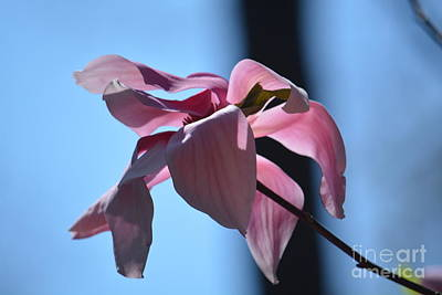 Photograph - Pink Magnolia II by Maria Urso