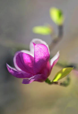 Photograph - Pink Magnolia In The Sunlight by Jaroslaw Blaminsky
