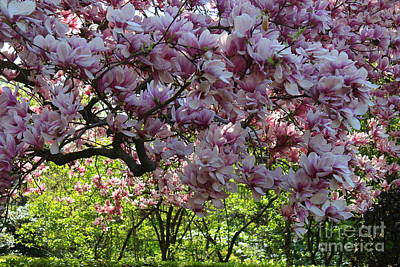 Photograph - Pink Magnolias In Bloom- Central Park, Nyc by Dora Sofia Caputo Photographic Design and Fine Art